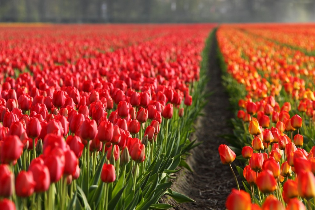 Image by Pixabay. https://pixabay.com/en/tulips-tulip-field-fields-orange-2546/