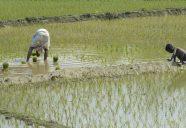 Children work in the fields (4)resize