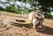 Apopo is een Belgische organisatie die in Tanzania ratten traint voor de opsporing van landmijnen en tuberculose. In ongeveer 60 landen over de wereld zijn nog altijd landmijnen en andere explosieven in de grond verborgen. Deze elementen zorgen voor tragische ongelukken en zorgen soms ook voor een blokkade voor ontwikkeling en economische groei. Apopo ontwikkelt methoden waarin bestaande technologie om mijnen onschadelijk te maken wordt gecombineerd met landmijn-detectie- ratten. Ze noemen deze ratten ook wel Herorats.Apopo is a social enterprise that researches, develops and implements detection rats technology for humanitarian purposes such as Mine Action and Tuberculosis detection. Apopo is a Belgian NGO, with headquarters in Tanzania and operations in Mozambique, Thailand, Angola and Cambodia. Some 60 countries around the world are still affected by landmines and other leftover explosives. These cause tragic accidents and pose a barrier to development and economic growth. Apopo continues to develop approaches that combine existing de-mining technology with its Mine Detection Rats (HeroRATs), in order to return mine-free land back to communities as quickly as possible. bestaande technologie om mijnen onschadelijk te maken te combineren met zogenaamde landmijn-detectie- ratten. Ze noemen deze ratten ook wel Herorats.Apopo is a social enterprise that researches, develops and implements detection rats technology for humanitarian purposes such as Mine Action and Tuberculosis detection. Apopo is a Belgian NGO, with headquarters in Tanzania and operations in Mozambique, Thailand, Angola and Cambodia. Some 60 countries around the world are still affected by landmines and other leftover explosives. These cause tragic accidents and pose a barrier to development and economic growth. Apopo continues to develop approaches that combine existing de-mining technology with its Mine Detection Rats (HeroRATs), in order to return mine-free land back to communities as quickly as pos