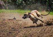 Greyhound Racing cropped