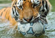 tiger-with-soccer-ball-1800